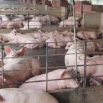 Pig Farming: An Untapped Industry in Namibia